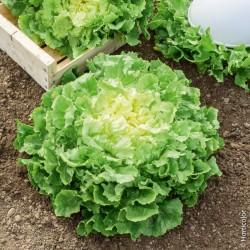 Salade chicorée scarole