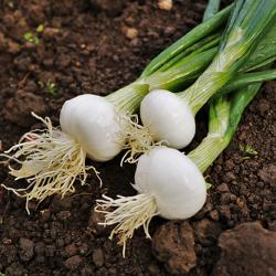 oignon blanc (plants)