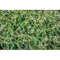 Euphorbe (hypericifolia)