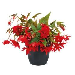 Begonia Scarlet