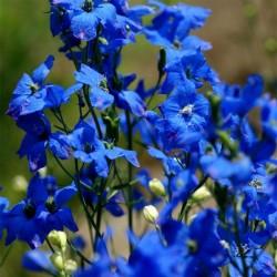 Delphinium bleu